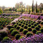 Lavandula Swiss Italian Lavender Farm